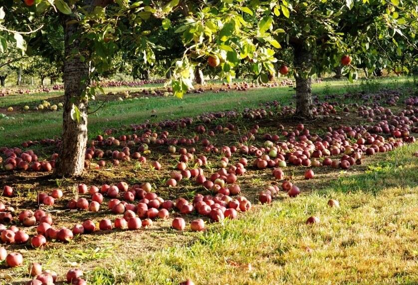 яблоневые рощи во Франции